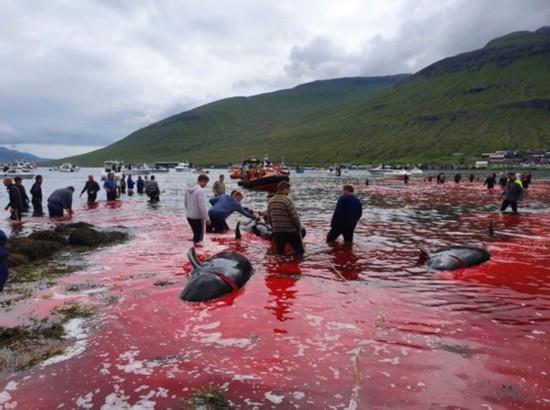 触目惊心!丹麦法罗群岛23头鲸鱼被捕杀鲜血染红海水