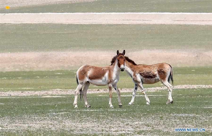 Tibet's Nyima County attracts tourists with fresh air, diverse wild animals