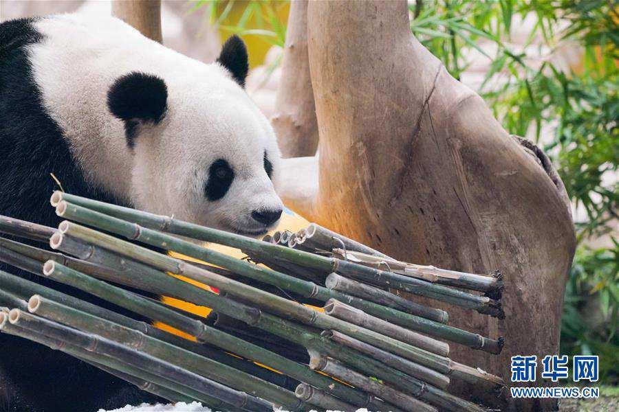 """(社会)(9)大熊猫思嘉的""""生日派对"""""""