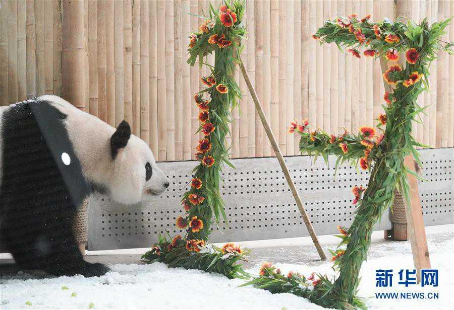 """(社会)(1)大熊猫思嘉的""""生日派对"""""""