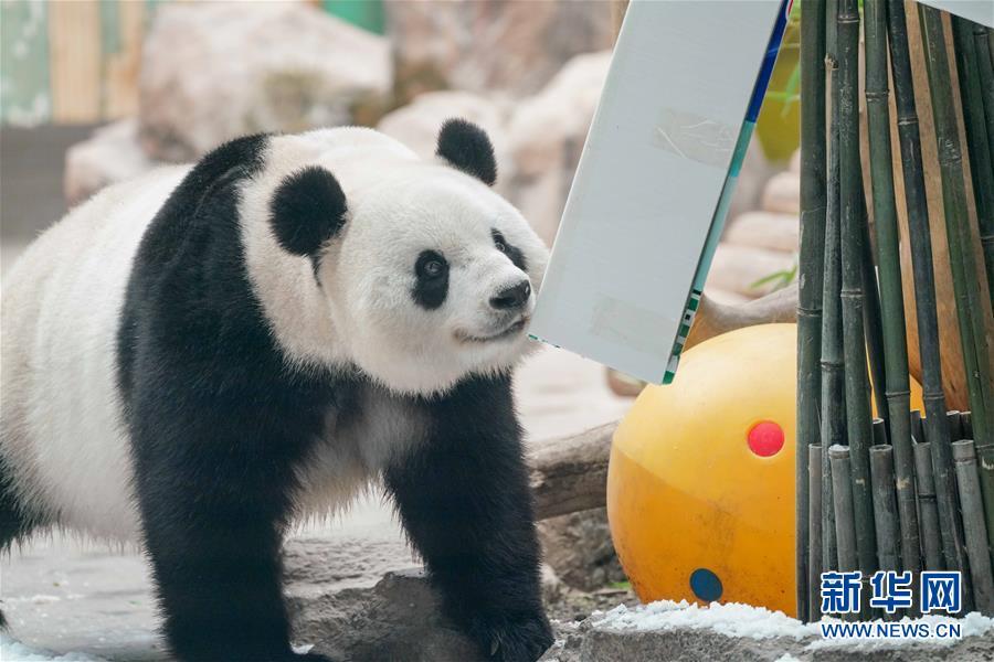 """(社会)(12)大熊猫思嘉的""""生日派对"""""""