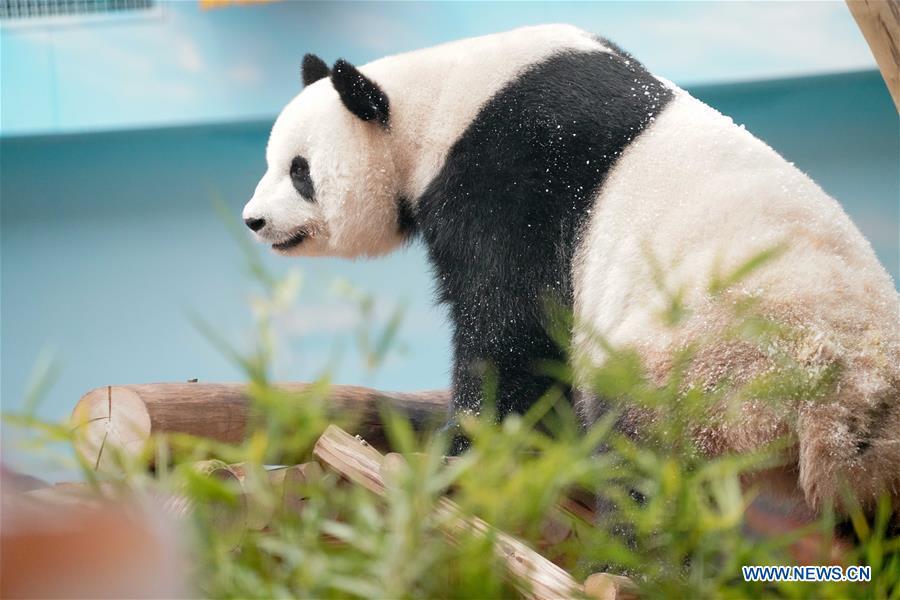 CHINA-HEILONGJIANG-GIANT PANDA-BIRTHDAY (CN)