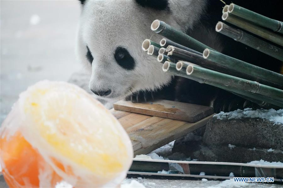 CHINA-HEILONGJIANG-GIANT PANDA-BIRTHDAY (CN)