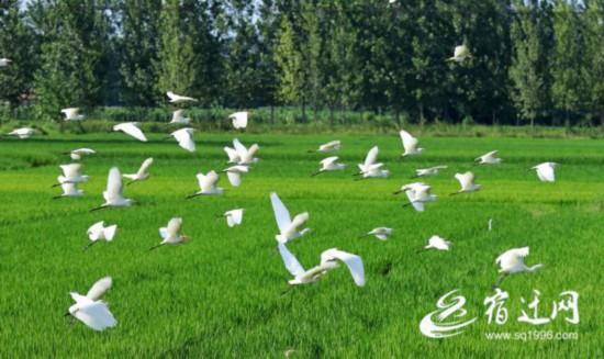 江苏沭阳:百只鹭鸟翩翩起舞 成乡村田园美景