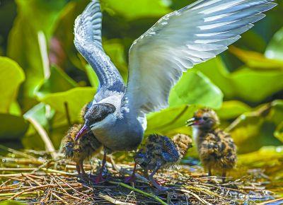 白洋澱鳥類種類增加到203種