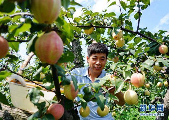 (经济)(2)河北肃宁:特色梨果种植促农增收