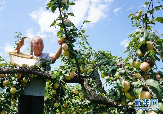 (经济)(1)河北肃宁:特色梨果种植促农增收