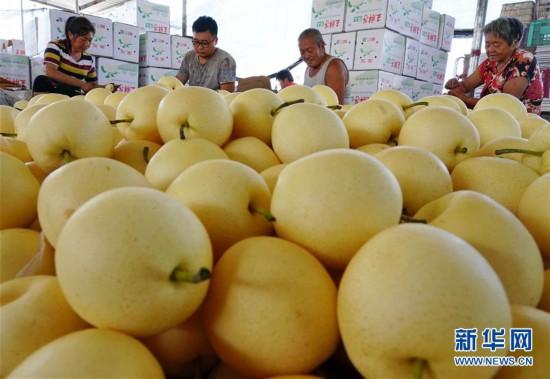 (经济)(3)河北肃宁:特色梨果种植促农增收