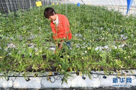 (經濟)(5)甘肅酒泉:戈壁生態農業奏響增收曲