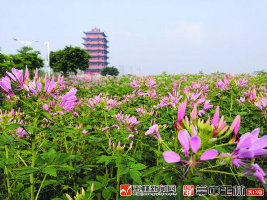园博园内紫花芦莉,黄婵,马鞭草,三角梅亦成片盛开,美不胜收.