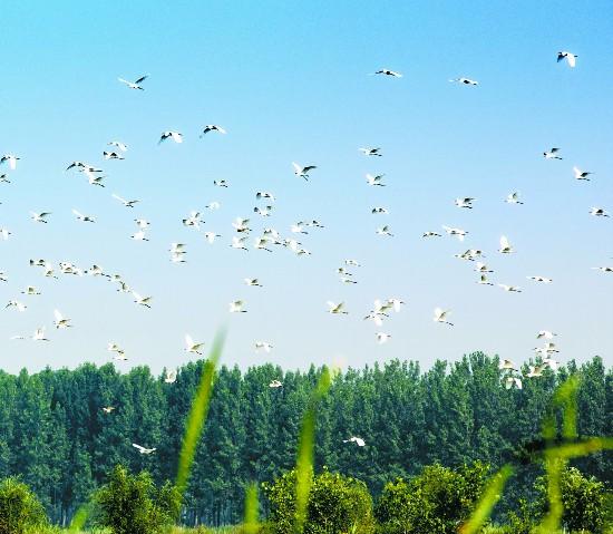 徐州沛县好生态引来白鹭翩飞