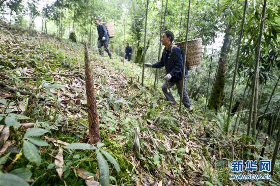 (图片故事)(1)重庆南川:大山深处的采笋人