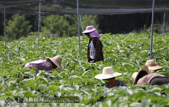 几名贫困群众在东兴镇才乐村现代特色农业魔芋示范园做工。大发快三破解器app主页-西新闻网通讯员 蒙宏谯 覃义坚  摄