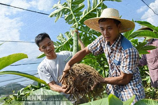 環江:魔竽種植為產業扶貧注入新動能