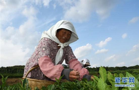 (经济)(3)山东日照:秋茶采摘忙