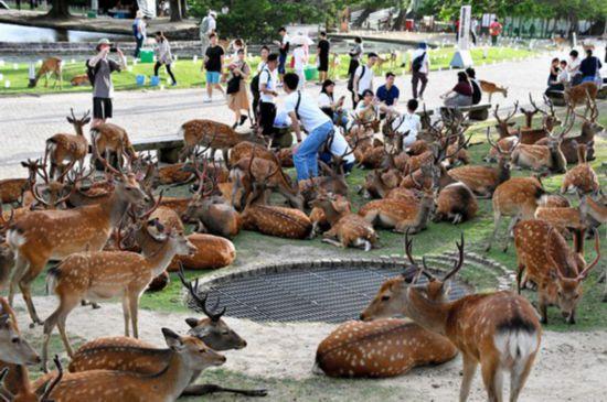 日本奈良百余只小鹿聚集成奇景 原因尚未探明(图片来源:朝日新闻网站)