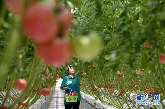 (社会)(1)山东寒亭:田园综合体里的番茄熟了