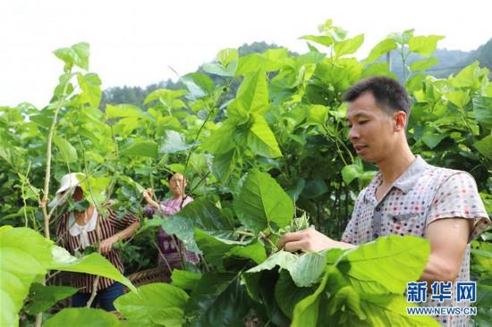 (社会)(1)陕西安康:特色产业铺就致富路