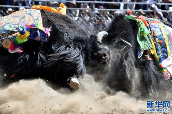 (社會)(8)牦牛間的決斗