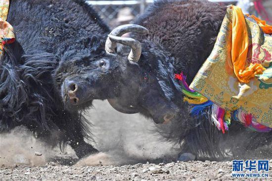 (社會)(2)牦牛間的決斗