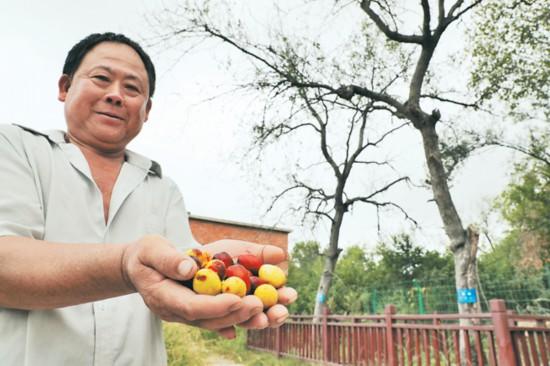 三棵百年枣树结甜果 背后故事大有来头