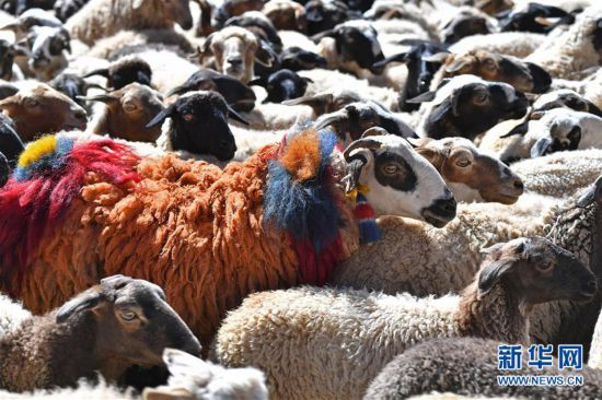 """(文化)(4)西藏""""数羊头""""传统活动"""