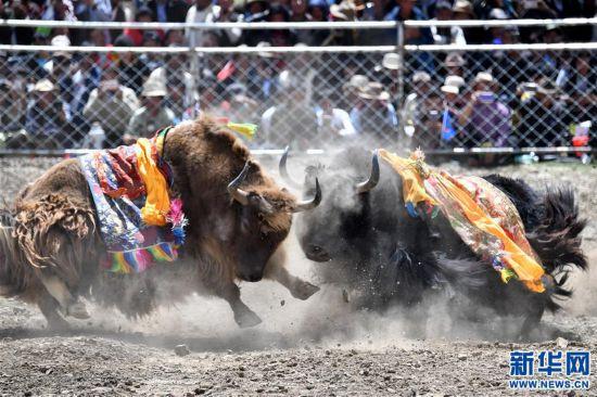 (社會)(1)牦牛間的決斗