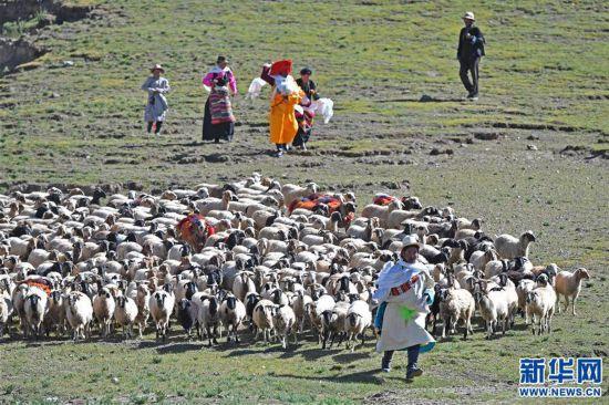 """(文化)(2)西藏""""數羊頭""""傳統活動"""