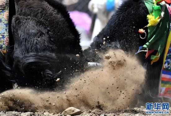 (社會)(3)牦牛間的決斗