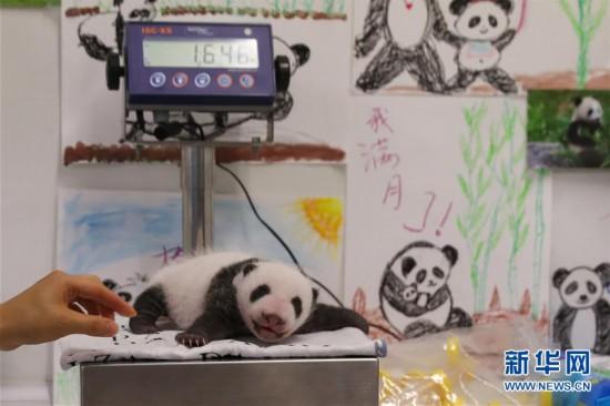 (国际)(1)旅比大熊猫幼仔满月