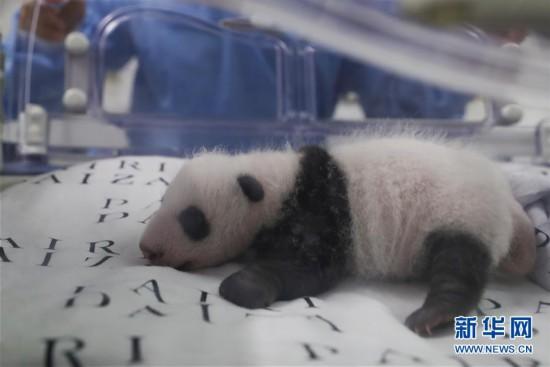(国际)(4)旅比大熊猫幼仔满月