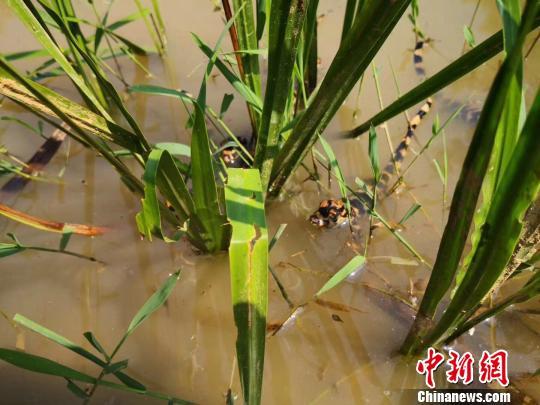 50条人工繁育扬子鳄雏鳄野外试放挑战自然生存能力