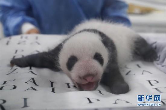 (国际)(2)旅比大熊猫幼仔满月