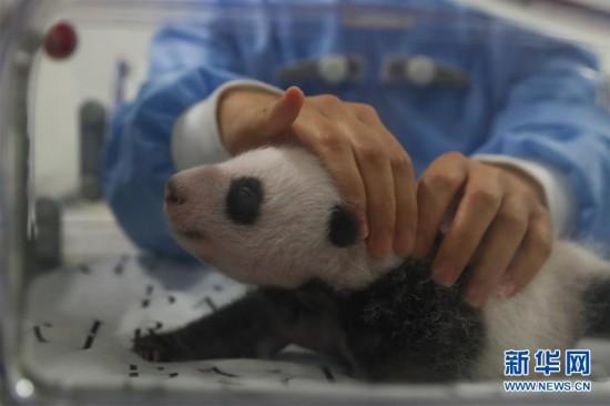 (国际)(3)旅比大熊猫幼仔满月