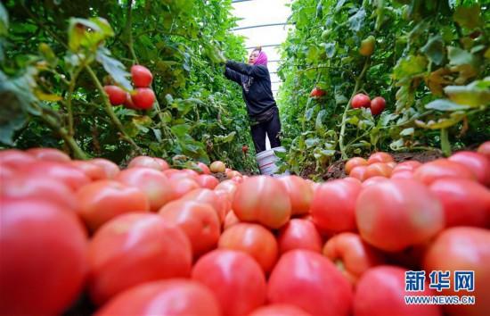 (经济)(1)河北滦州:西红柿种植促增收