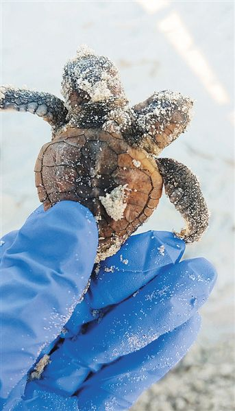 奇特突变 美国海滩发现双头海龟