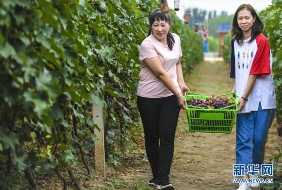 (经济)(1)葡萄村的葡萄熟了