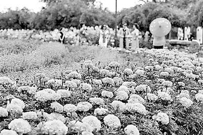 第十一届北京菊花文化节开幕 60万株花卉扮靓北京城