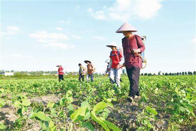 """南通海门""""小寒王""""青毛豆种植面积超四万亩"""