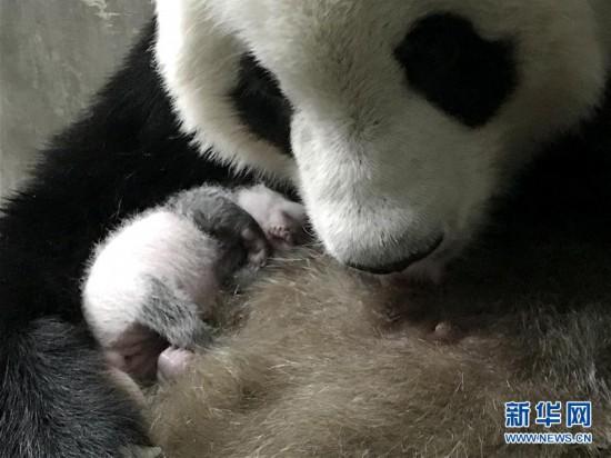 陕西迎来今年第三只大熊猫幼仔