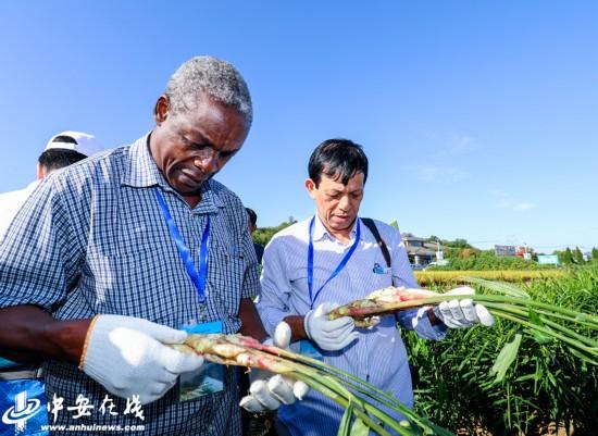 安徽铜陵:联合国粮农组织考察中华白姜