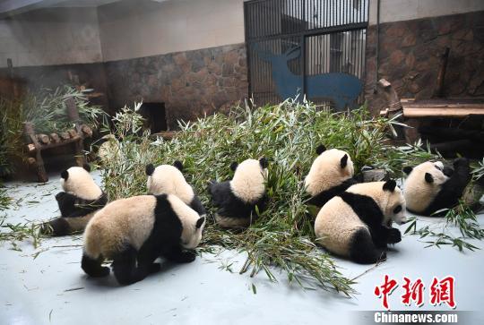 可愛らしいパンダの赤ちゃん(撮影・鐘欣)。