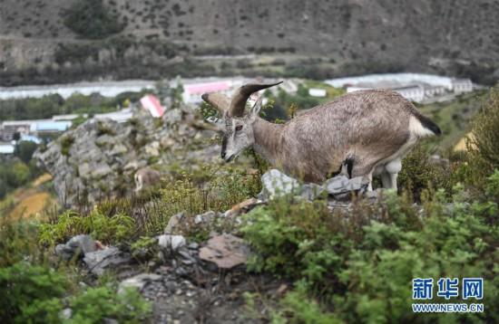 (生态)(1)西藏:不怕人的岩羊