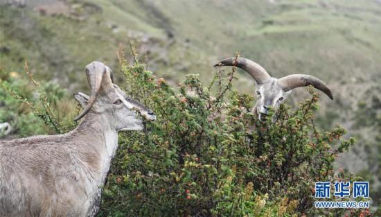 (生态)(2)西藏:不怕人的岩羊