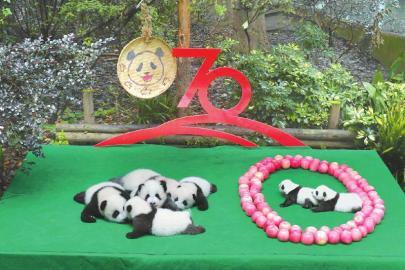四川成都:7只新生大熊猫集体亮相