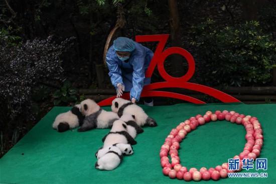 (社会)(1)分分彩组六玩法技巧,成都:7只新生大熊猫齐亮相