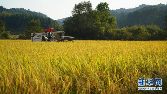 (经济)(2)江西黎川:金色稻田秋收忙