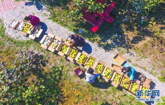 (经济)(2)河北阜城:万亩梨园迎来采摘季