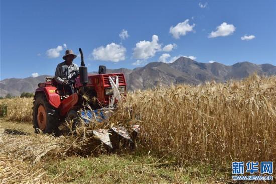 (經濟)(2)西藏江孜:青稞豐收