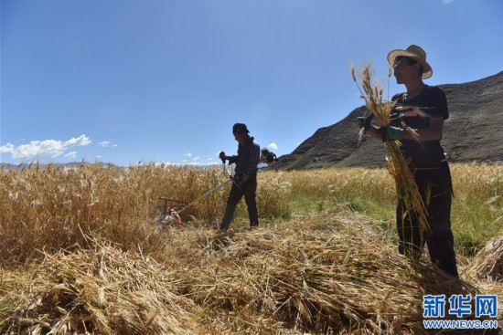 (經濟)(1)西藏江孜:青稞豐收